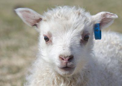 lamb no69