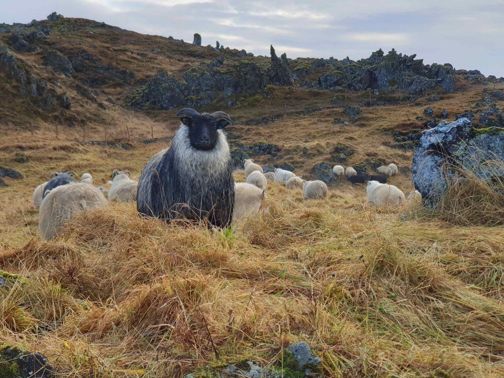 Féð komið heim af fjalli síðast liðið haust.